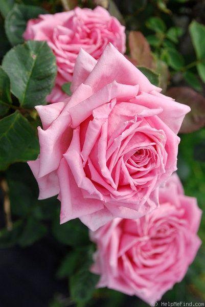 Hybrid Tea Rose: Rosa 'Dame Edith Helen' (U.K., before 1926)