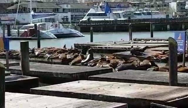 Ini pemandangan yang sangat dikenal oleh anak-anak Indonesia yang pernah kuliah atau berkunjung ke SF.  Tampak singa laut di Fishermen's Wharf yang berjemur di atas decks yang sengaja disiapkan untuk mereka.  Di kejauhan terlihat Golden  Gate Bridge yang terkenal itu, dan penjara Alcatraz yang legendary.  Terlihat juga kapal turis dari berbagai ukuran, yang siap mengantar kita berkeliling teluk San Francisco.  Dalam kunjungan kami yang sebelum ini, ada seorang pria setengah baya di atas…