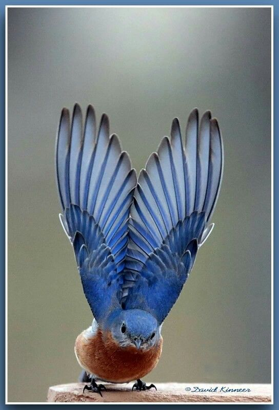 The Eastern Bluebird, stretching his wings, is a small thrush found in open woodlands, farmlands, and orchards. It is the state bird of Missouri and New York.
