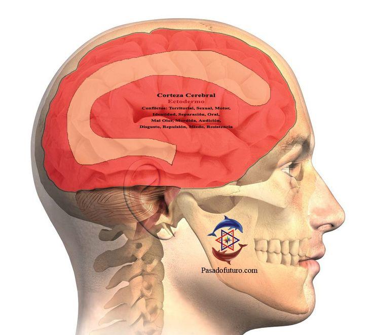 Cerebro Humano Nueva Medicina Germanica Hamer NMG Corteza Cerebral Hoja Embrionaria Ectodermo