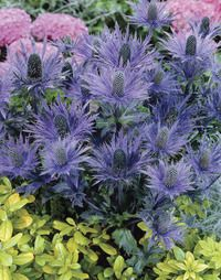 Good for buttonholes! Image of Blue Sea Holly