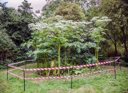 "Giant and poisonous Hogweed.   "" [sprouts] stand by the curb prolific and vital """