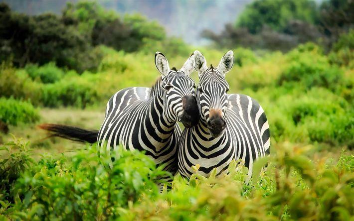 """Descargar fondos de pantalla """"la cebra, la vida silvestre, África, Kenia, safari, los árboles verdes, savannah"""