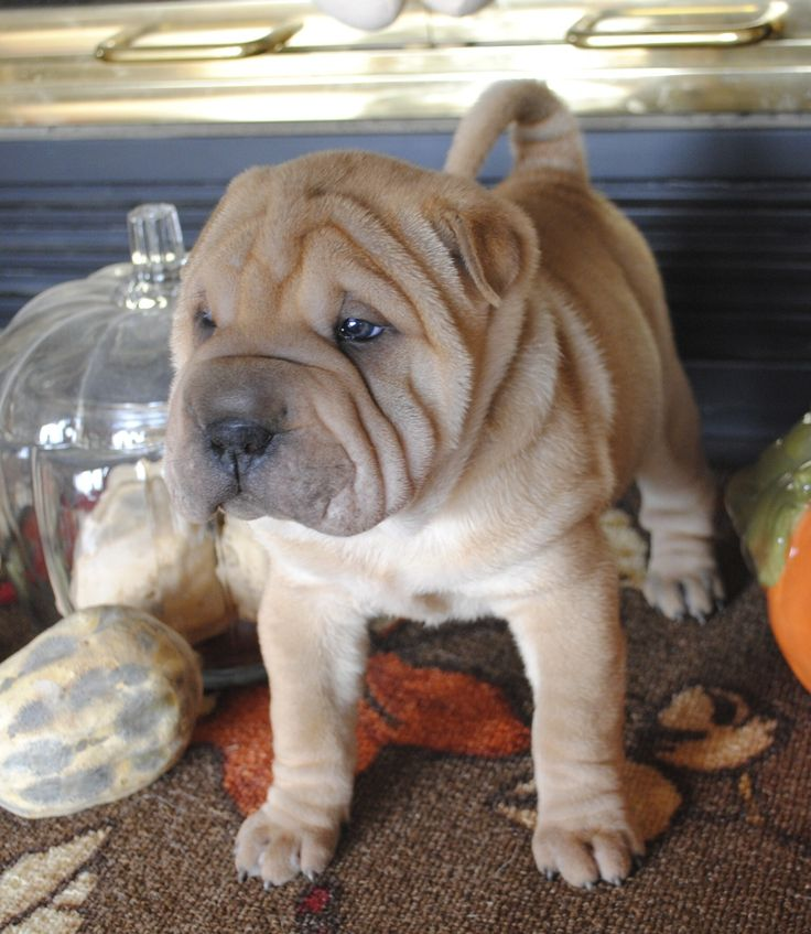 Mini Shar-pei puppy from Laurel's Westies, Brighton, IL
