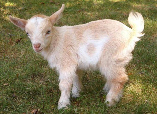 carmel  white pygmy goat