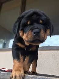 Image result for rottweiler puppies