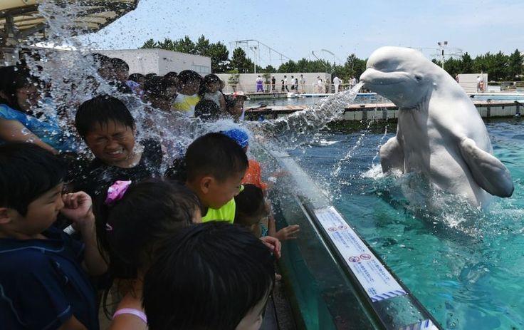 20 juin. Ces jeunes Japonais venus visiter un aquarium de la banlieue de Tokyo en seront quitte pour une bonne douche. pas forcément désagréable, considérant que les températures ont atteint 34 degrés dans la capitale. Photo : AFP