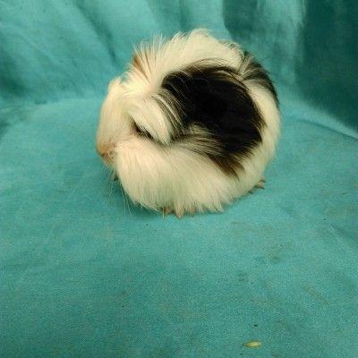 0421 Ginepig Coronet Safkan  Guinea Pig Daha daha güzel bebekleri  sitemizden takip edebilirsiniz. www.guineapigcim.com