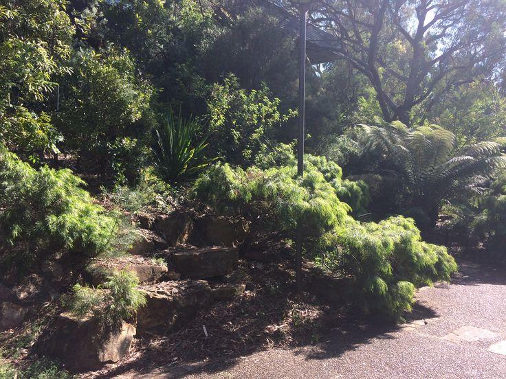 Green mist acacia