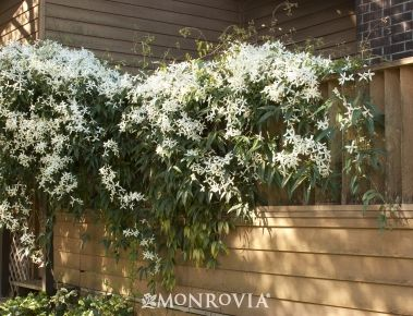 Evergreen Clematis:  Showy evergreen vine, large, leathery green leaves and an abundance of fragrant, star-like white blooms in brilliant clusters. Perfect quick cover for patios, trellises, arbors; great privacy screen.