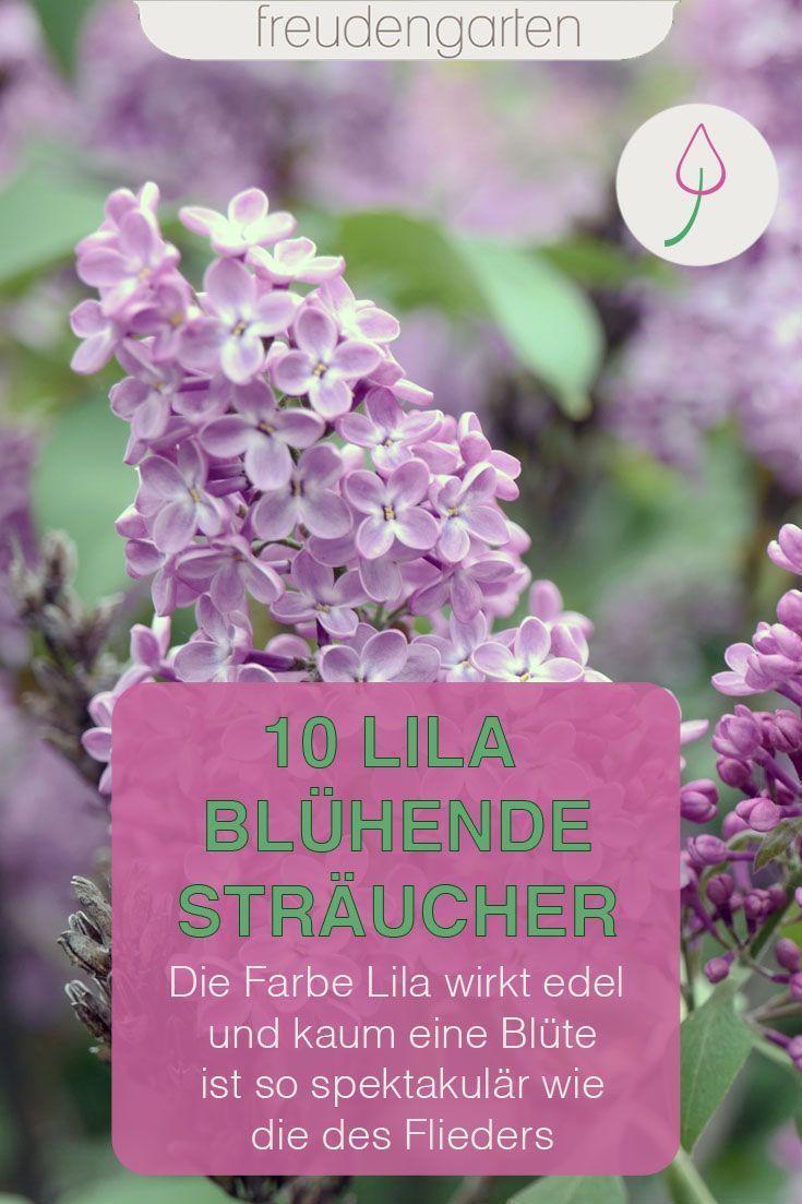 Straucher Mit Lila Bluten Freudengarten Lila Bluten Bluhende Busche Straucher Garten