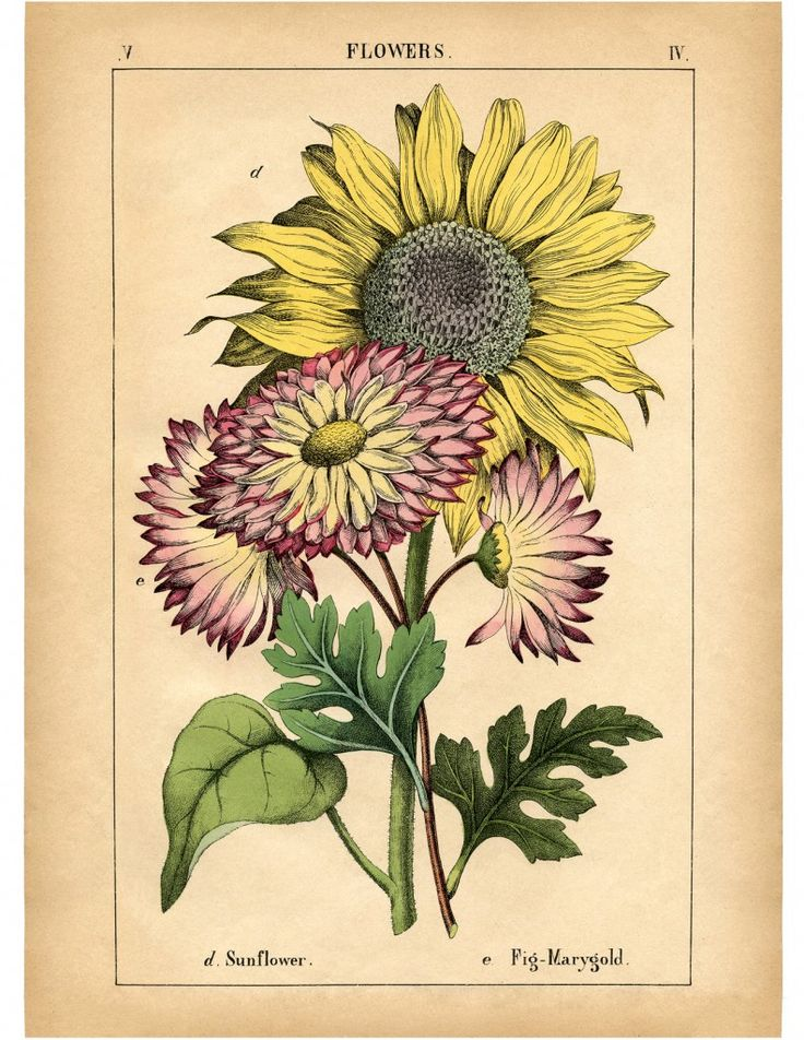 Lovely Vintage Sunflower Printable! High resolution Botanical Print. Great for some instant wall decor!