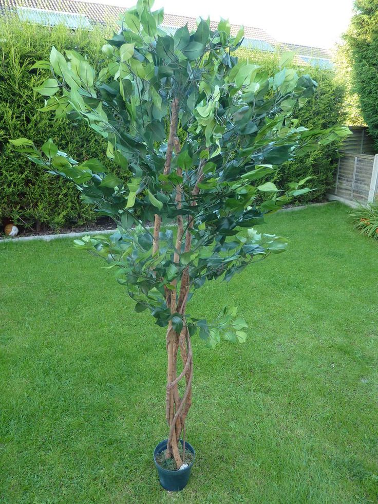 Large Artificial Ficus Benjamina Tree in a Pot Potted Tree Plant 1.8m 6' #UKGardens #PottedPlants