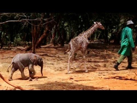 Cute Orphaned Baby Elephant and Giraffe Are The Best of Friends (VIDEO) | One Green Planet
