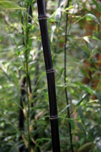 Black Bamboo Plant - Running Bamboo Plants | Clumping Bamboo Plants - Willis Orchard Company