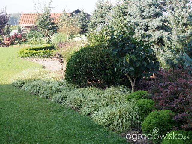 Carex Evergold Marzenia I Plany Vs Rzeczywistość Strona 229 Forum Ogrodnicze