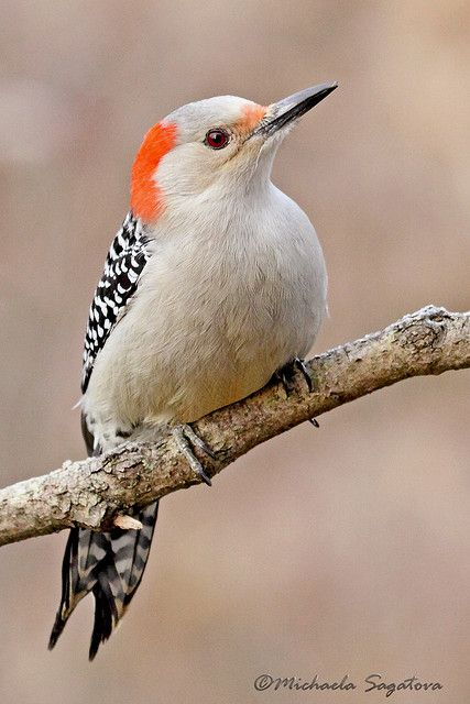 The Red-bellied Woodpecker (Melanerpes carolinus) is a medium-sized woodpecker of the Picidae family. It breeds in southern Canada and the northeastern United States, ranging as far south as Florida and as far west as Texas. Its common name is somewhat misleading, as the most prominent red part of its plumage is on the head; the Red-headed Woodpecker however is another species that is a rather close relative but looks quite different.