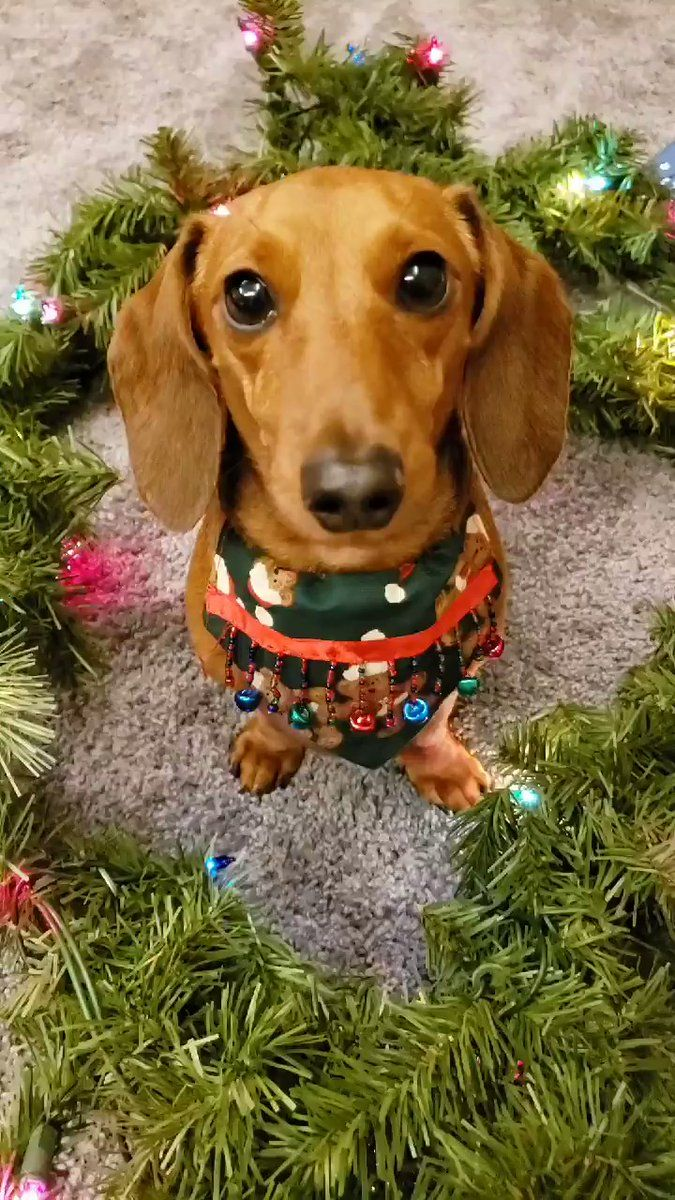 Lena Pup Dachshund S You On Twitter I Thought I Would Wook Into Your Eyes For Forty Scheconds Und Wemind You Dat You Dachshund Dog Dog Parade Dachshund
