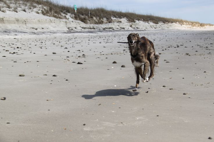 Stanley loves to run on the beach