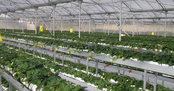 Propagation Material | FraoulaBest© System (Hydroponic Strawberry)