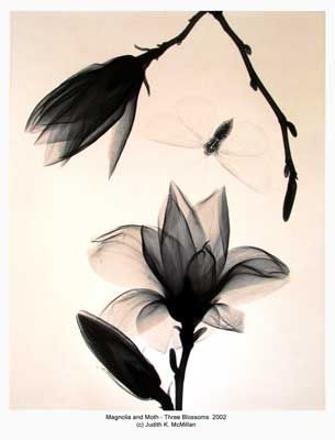 Google Image Result for http://www.judithkmcmillan.com/images/16x20/16x20-Magnolia-and-Moth-3-Blossoms-2002-reduced_web.jpg