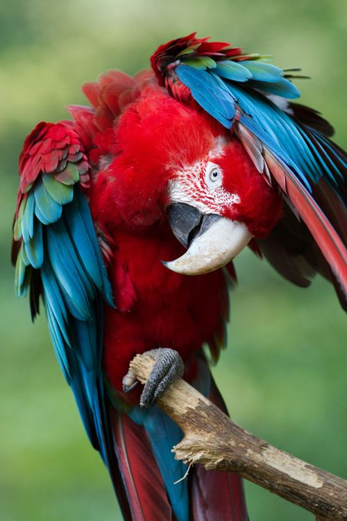 Greenwing Macaw...my Leelu!      WAIT A MINUTE, MR. PICTURE MAN ....FOR SOME REASON I'M ALL TWISTED UP HERE.....ccp