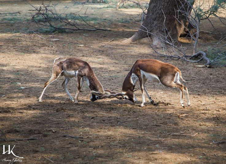 Black Bucks Fighting - Photographed by Hanan Khaleeq - Lal Sunhara National Park Bahawalpur Pakistan [960x699]