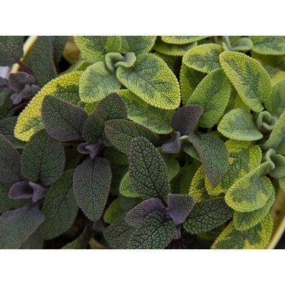 Blu Bio-Echter Salbei Topf-Ø ca. 12 cm Salvia