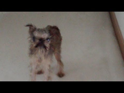 Dog Debates Bath Time | The Animal Rescue Site Blog  So cute, looks just like my Yorkie after a hated bath!