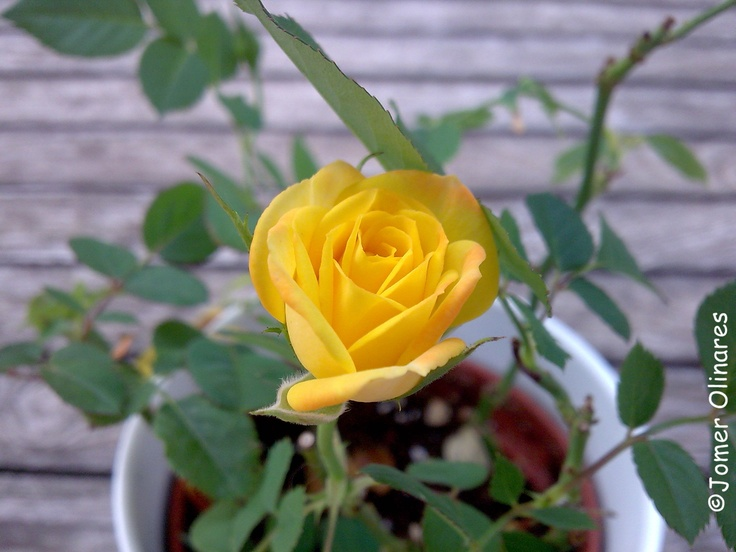 YellowRose! by Jomer Olinares, estudiant de la #UVic, Universitat de Vic.