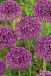 Allium Purple Sensation- For pollinators