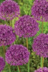 Allium Purple Sensation- For pollinators