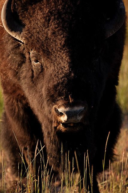 Bison, Yellowstone National Park, Wyoming.