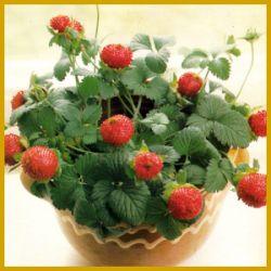 indische erdbeere eine h bsche kleine h ngepflanze. Black Bedroom Furniture Sets. Home Design Ideas