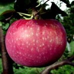 Hardy Fruit Trees Nursery grows cold hardy fruit trees for the north of Canada. Their fruit trees are grown naturally and have been selected among hundreds of varieties to offer you the best you can grow in Canada, from Alberta to Ontario.