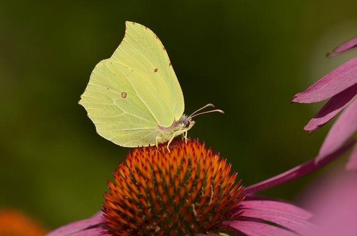 Les om sommerfuglene og hvordan du selv kan lage nektar til dem.