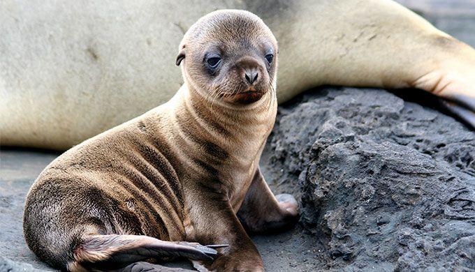 Spectacular, surprising seals - creation.com