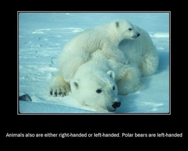 Animals also are either right or left handed. Polar Bears ...