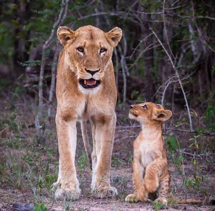 "... and THEN she said ""Maybe I'll go with you to see Ella and maybe not :D""  Mom Lioness to baby Lion :D"