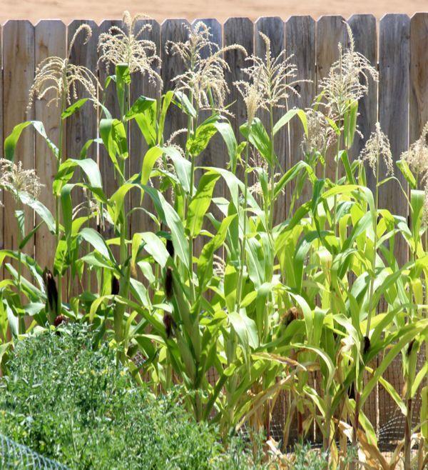 Gardening Tips How To Best Grow Corn In A Backyard Garden Topsummergardeningtips