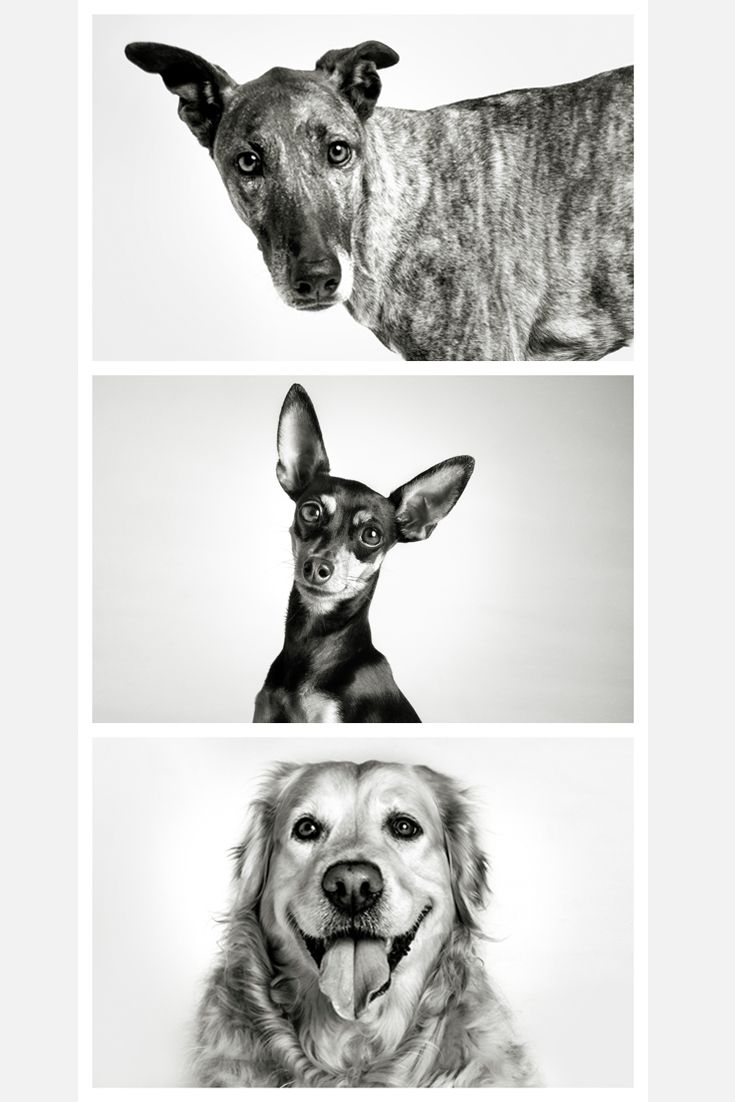 Like and repin.  Black and white studio pet portraits. Dog portraits. Pet photography
