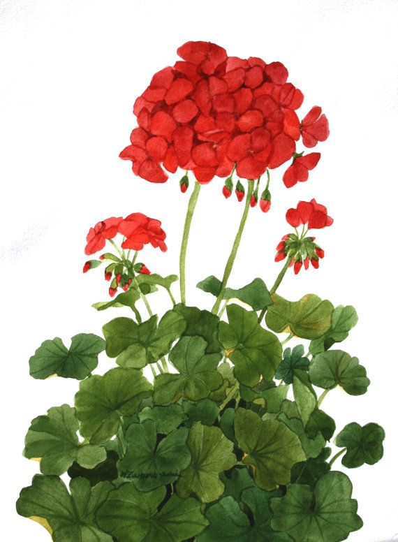 Geranios rojos original de la acuarela del jardín v