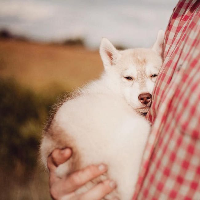 A Load of Cute and Fluffy Siberian Husky Puppies by Erica Tcogoeva l  #photography #portrait #cute #siberianhusky #snuggle