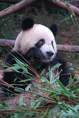 panda in Chengdu, Sichuan, China (in Chinese, panda is Xiong Mao)