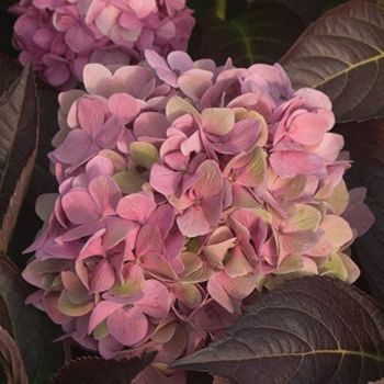 Great information on caring for Hydrangea and making sure you get that color you want . . . pink or blue!?