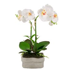 orchid white in cement pot 40cm