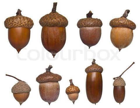 Types Of Acorns | Stock image of 'acorn different type and sizes collection isolated on ...