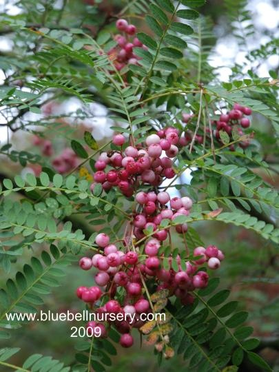 Sorbus Vilmorinii Vilmorins Rowan A Handsome And Somewhat Unusual Tree Native To China