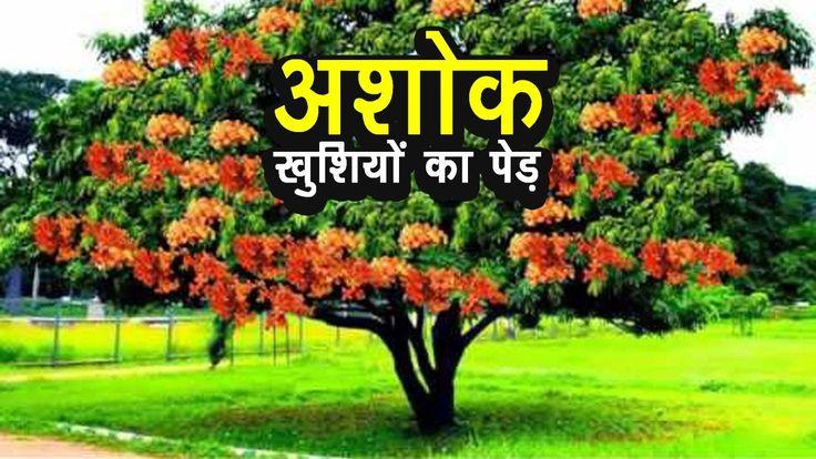 अशोक - खुशियों का पेड़
