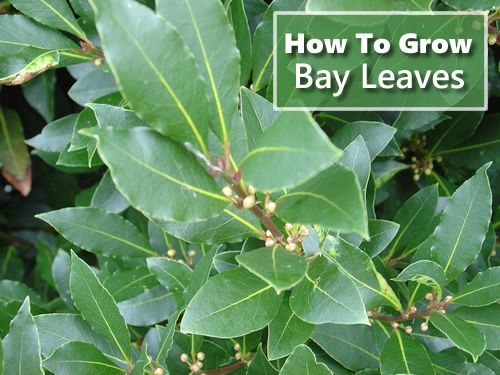 How To Grow Bay Leaves - both indoors   in pots as well as outside in your backyard garden... #gardening #homesteading